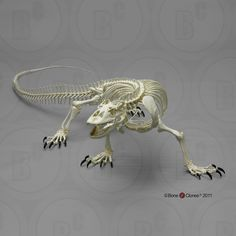 articulated skeleton  | Articulated and Disarticulated Komodo Dragon Skeleton SC-027-A SC-027 ...