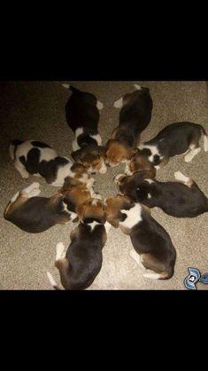 Beagle heaven