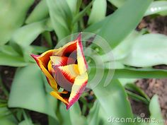 Yellow Red Tulip - Download From Over 23 Million High Quality Stock Photos, Images, Vectors. Sign up for FREE today. Image: 40948740