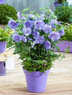 Plantas de flor azul para cultivar en maceta