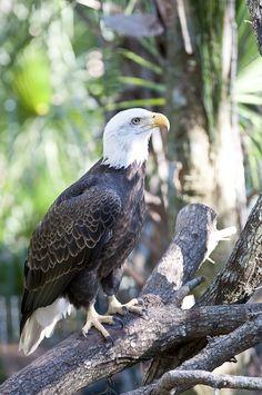 American Bald Eagle!
