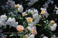 Znalezione obrazy dla zapytania penelope rose