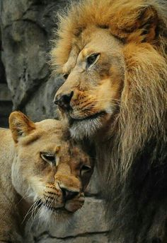 Lion & his lioness...meow