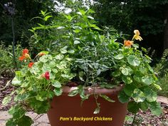 Planting herbs in pots is perfect for anyone with a little available outdoor space and a desire for useful plants.