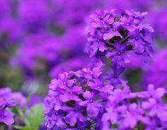 Purple hydrangea, also my wedding flower Amazing Flowers, Purple Flowers, Beautiful Flowers, Purple Hydrangeas, Simply Beautiful, Beautiful Things, Hydrangea Garden, Hydrangea Flower, Purple Love