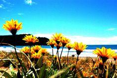 Yellow flowers on Whangamata beach dunes