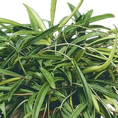 Shamapry Hoya- One of over 400+ varieties from Exotic Angel Plants®