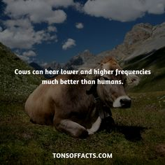 Cows can hear lower and higher frequencies much better than humans. #cow #cows #animals #interesting #facts #fact #trivia #beautiful #pets #cute #amazing #1 #memes #animalfacts #cowfacts #petfacts Cow Facts, Tiger Facts, Bird Facts, Dolphin Facts, Whale Facts, Dinosaur Facts, Fun Facts About Animals, Animal Facts, Elephant Facts