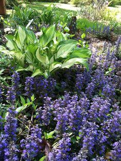 Ajuga - purple Flowers