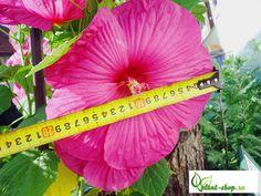Hibiscus moscheutos cu flori cât o farfurie.   plant-shop.ro