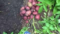 Potato Harvest Part 1/ Red Potatoes (+playlist)