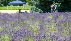 Herbal Medicine Starting a lavender farm can be a great way to make money from agritourism, as well as from value-added products, like lavender oil. Lavender Garden, Lavender Fields, Lavender Oil, Planting Lavender, Lavender Plants, Growing Lavender, Growing Herbs, Cut Flower Garden, Flower Farm