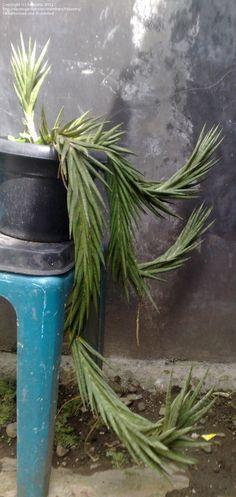 Full size picture of Sansevieria (<i>Sansevieria francisii</i>)