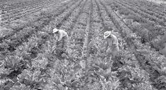 A Bitter Harvest: Inside Japanese-American Internment Camps During World War II - Modern Farmer Agriculture Articles, The Fog Of War, Modern Farmer, Agricultural Land, California Mountains, Japanese American, World War Ii, American History, The Past