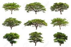 19713007-Collection-of-Rain-trees-Samanea-saman-tropical-tree-in-the-northeast-of-Thailand-isolated-on-white--Stock-Photo.jpg (1300×866)