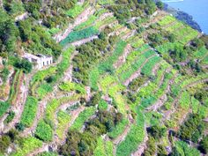 Vineyards along the mountainside--Cinque Terre, Italy