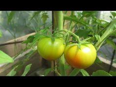 Ντομάτα - φροντίδα από την αρχή! - YouTube The Creator, Vegetables, Gardening, Nature, Youtube, Decor, Naturaleza, Decoration, Lawn And Garden