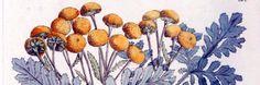 Boerenwormkruid werd in vroeger eeuwen veel en vaak geplukt, gedroogd en gebruikt. Men wist deze plant naar waarde te schatten in een tijd waarin de apotheek nog uitgevonden moest worden. Zo werd