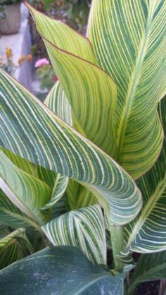 Canna tropical plant