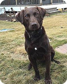 12/27/15 Willingboro, NJ - Labrador Retriever. Meet Thomas, a dog for adoption. http://www.adoptapet.com/pet/14607069-willingboro-new-jersey-labrador-retriever