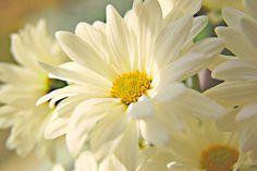 Daisy by Marc_714, via Flickr