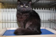 URGENT Meet Pollie, a Petfinder adoptable Domestic Long Hair-black Cat | Hopkinsville, KY | Hi my name is Pollie and I am an 8 month old long haired female.  I was brought in by animal...