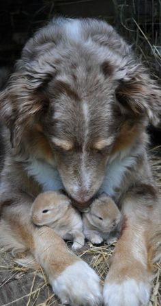 Aussie shepherd giving TLC to bunnies • original source not found