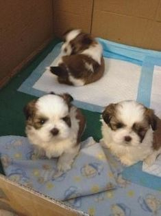 """See our web site for more info on """"shih tzu dog"""". It is actually an exceptional spot to read more. Cute Little Puppies, Puppies And Kitties, Cute Puppies, Doggies, Animals And Pets, Baby Animals, Funny Animals, Cute Animals, Shih Tzu Puppy"""