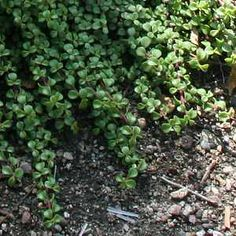 """Portulacaria afra 'Prostrate Form' - less than 6"""" tall, usually flat to the ground - drought tolerant"""