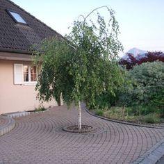 Bouleau pleureur - Betula pendula 'Youngii' - Arbres tiges et d'avenues - Pépinières Meylan Shop