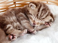 Süße kleine Britisch Kurzhaar Katzenbabys - Seite 1