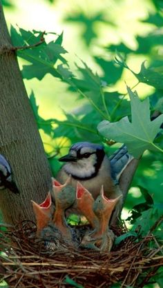 """Blue Jays ready to feed their chicks...i was very privileged to raise an """"almost fledgling"""" and it was a grand experience.  I miss you """"Bird!"""" EM"""