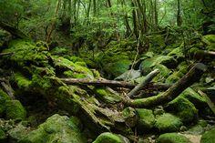 Mossy rocks and trees and stuff, Yakushima, Japan
