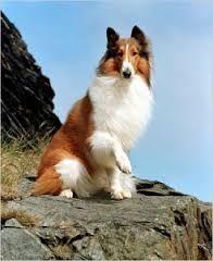 skot juhász kutya - Google keresés