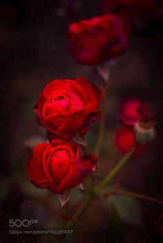 Roses by negreavdoru #nature #mothernature #travel #traveling #vacation #visiting #trip #holiday #tourism #tourist #photooftheday #amazing #picoftheday