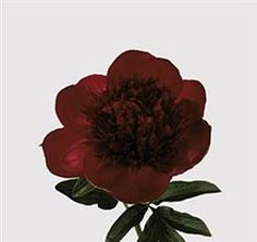 Peony Red Charm  Mayesh Wholesale Florists - Search our Flower Library
