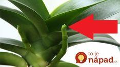 Odkvitla Vám orchidea? Tu sú najjednoduchšie spôsoby ako ju znova rozkvitnúť! Pergola Shade, Kids And Parenting, House Plants, Flora, Home And Garden, Herbs, Gardening, Deodorant, Plants