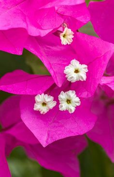Bougainvillea - Dear children, let us not love with words or tongue but with actions and in truth. — 1 John 3:18