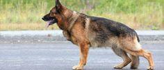 Dit ras is ontstaan in de 19e eeuw door Max Von Stephanitz en deze meneer wordt beschouwd als de vader van de Duitse Herder. Vereerd voor hun veelzijdigheid als metgezel en door hun toewijding aan het werk, is dit ras  de eerste hond ooit die gebruikt werd als gids voor de blinden. Vandaag de dag is de Duitse Herder is een van de meest populaire rassen in de wereld.