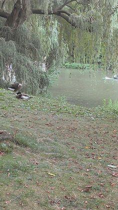 Duck by pond #centralpark