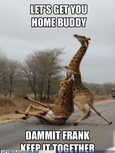 lol, silly giraffes....