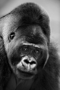 Gorilla = He looks sad Primates, Mammals, Nature Animals, Animals And Pets, Cute Animals, Most Beautiful Animals, Beautiful Creatures, Silverback Gorilla, Gorilla Gorilla