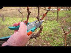 Ingrijirea vitei de vie - Taierea butucului cu vigoare normala - YouTube Grape Tree, Grape Vines, Grape Vine Pruning, Fruit Trees, Garden Tools, Vineyard, Diy And Crafts, Pergola, Youtube