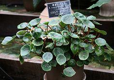 Begonia conchifolia f. rubrimacula