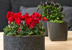 Cyclamenul trebuie atent îngrijit și udat ca să-ți facă flori frumoase