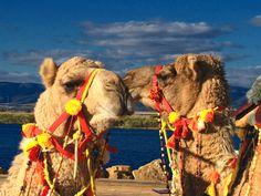 Camels ~ Johannesburg, South Africa