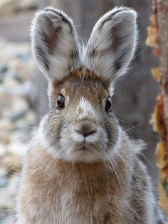 Bunny with winter coat Nature Animals, Animals And Pets, Baby Animals, Cute Animals, Beautiful Creatures, Animals Beautiful, Beautiful Rabbit, Especie Animal, Barnyard Animals
