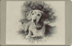 c.1890s cabinet card of dachshund lying in the grass. No identification of dog or photographer. From bendale collection