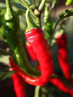 Chilli Pepper Grow Guide