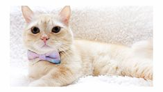 Bowtix create amazing pet collars, bow ties and bandana for modern pets and their people! All accessories are handmade with every thought and love to ensure safety and durability for your pets! Cat Enclosure, Reptile Enclosure, Cat Bow Tie, Munchkin Cat, French Bulldog Puppies, Scottish Fold, Dog Bows, Exotic Fish, Maine Coon Cats